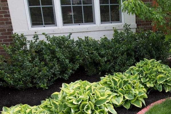 A landscape bed with mature hostas, lovely hedges, and fresh mulch.