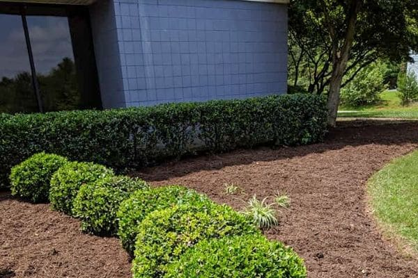Landscape bed with fresh mulch and pruned bushes.