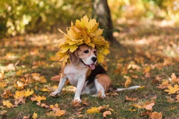 A dog sits in the yard with leaves around him and a crown of leaves atop his head.