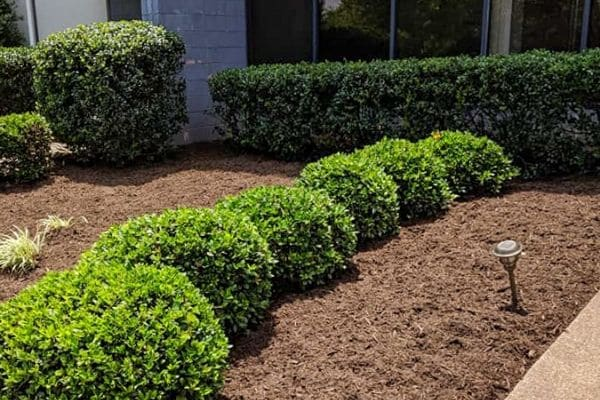 A landscape bed with fresh mulch and beautifully trimmed bushes and hedges.